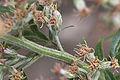 Artemisia vulgaris flowers, Bijvoet bloeiend.jpg