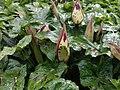 Arum maculatum 126663696.jpg