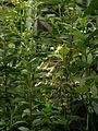 Asclepias exaltata (4804173691).jpg
