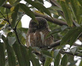 Asian Barred Owlet (Glaucidium cuculoides) - Flickr - Lip Kee (1).jpg