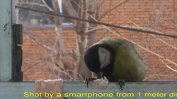 ファイル:Asian great tit (Parus major) Jan 24 2018 from Ulaanbaatar Mongolia.webm