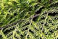 Asplenium bulbiferum in Auckland Botanic Gardens 03.jpg