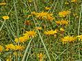Asteraceae - Inula hirta. Agata Fossili165.JPG