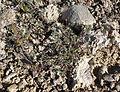 Astragalus nuttallianus var imperfectus 1.jpg