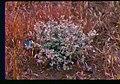 Astragalus purshii var. ophiogenes plant in southern Idaho.jpg