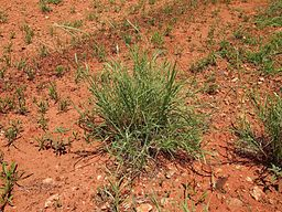 Astrebla pectinata -- Мичелова трава