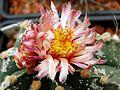 Astrophytum flower 324.jpg