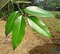 Atalantia racemosa 17.jpg