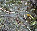 Atalaya salicifolia.jpg