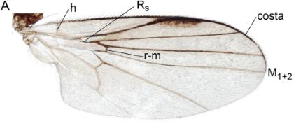 Atelestidae wing (Atelestus pulicarius)