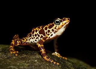 <i>Atelopus</i> genus of amphibians