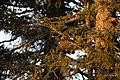 Auerhahn im Baum.jpg