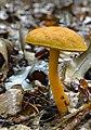 Aureoboletus auriflammeus (Berk. & M.A. Curtis) G. Wu & Zhu L. Yang 772241.jpg