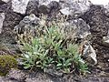 Aurinia saxatilis sl1.jpg