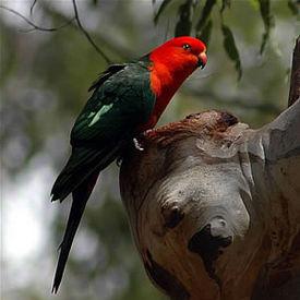 https://upload.wikimedia.org/wikipedia/commons/thumb/9/9f/Austkingparrot.jpg/275px-Austkingparrot.jpg