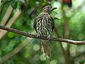 Australasian Figbird RWD.jpg