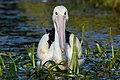 Australian Pelican 1.jpg