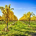 Autumn Vineyard (30590931612).jpg