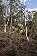 Eucalyptus accedens - Photo (c)  User:Gnangarra, μερικά δικαιώματα διατηρούνται (CC BY)