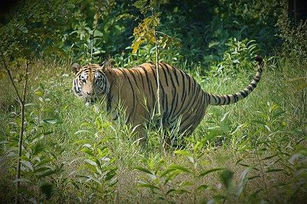 Prime male bengal tiger