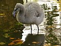 Baby flamingo (2908083188).jpg