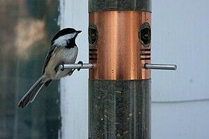 Black-capped chickadee - Chickadee at feeder