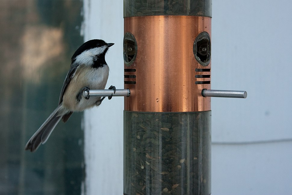 Back Capped Chickadee