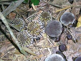 Balanophoraceae family of plants