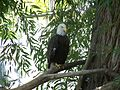 BaldEagle-At-WillParkZoo.JPG