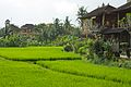 Bali 016 - Ubud - rice fields amidst the town.jpg