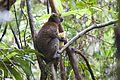 Bamboo lemur Prolemur simus (15721524259).jpg