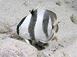 Banded Butterflyfish.jpg