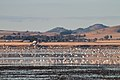 Banded Stilts and Red-necked Avocets (25543580126).jpg