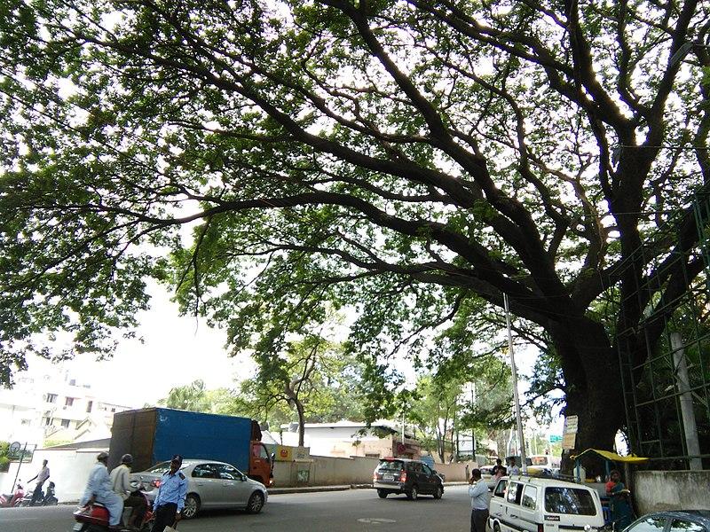 File:Bangalore Sanjay nagar street trees 8.jpg