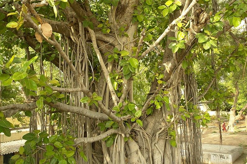 Banian, India.jpg