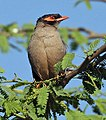 Bank Myna (Acridotheres ginginianus) at Hodal I IMG 5840.jpg