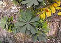 Banksiaintegrifolia.jpg