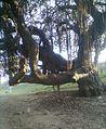 Banyan tree in India.jpg