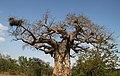 Baobab Tree (27597900031).jpg