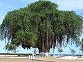 Baobab tree (5686667033).jpg