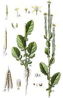 Kreuzblutler Wikipedia 7