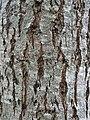 Bark of elm hybrid cultivar Ulmus 'Fiorente'.jpg