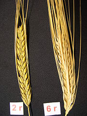 Two-row and six-row barley.