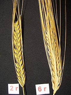 Bere (grain) subspecies of plant