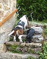 Basset hound et chiot teckel.jpg