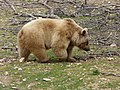 Bear (2380423450).jpg