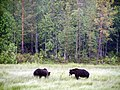Bear watching in Kuusamo - panoramio.jpg