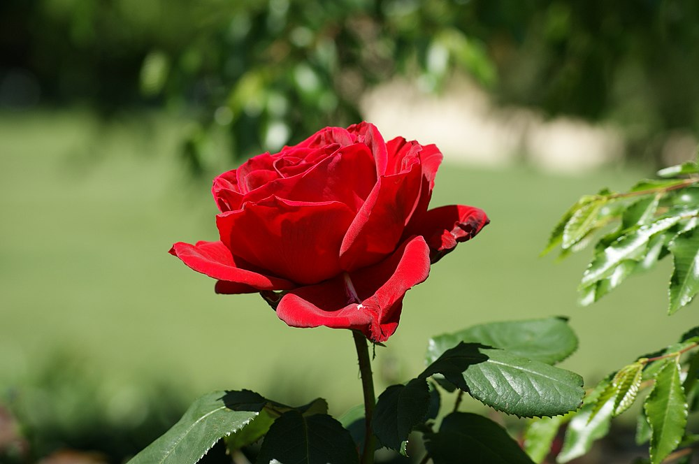 Beautiful Red Rose.jpg
