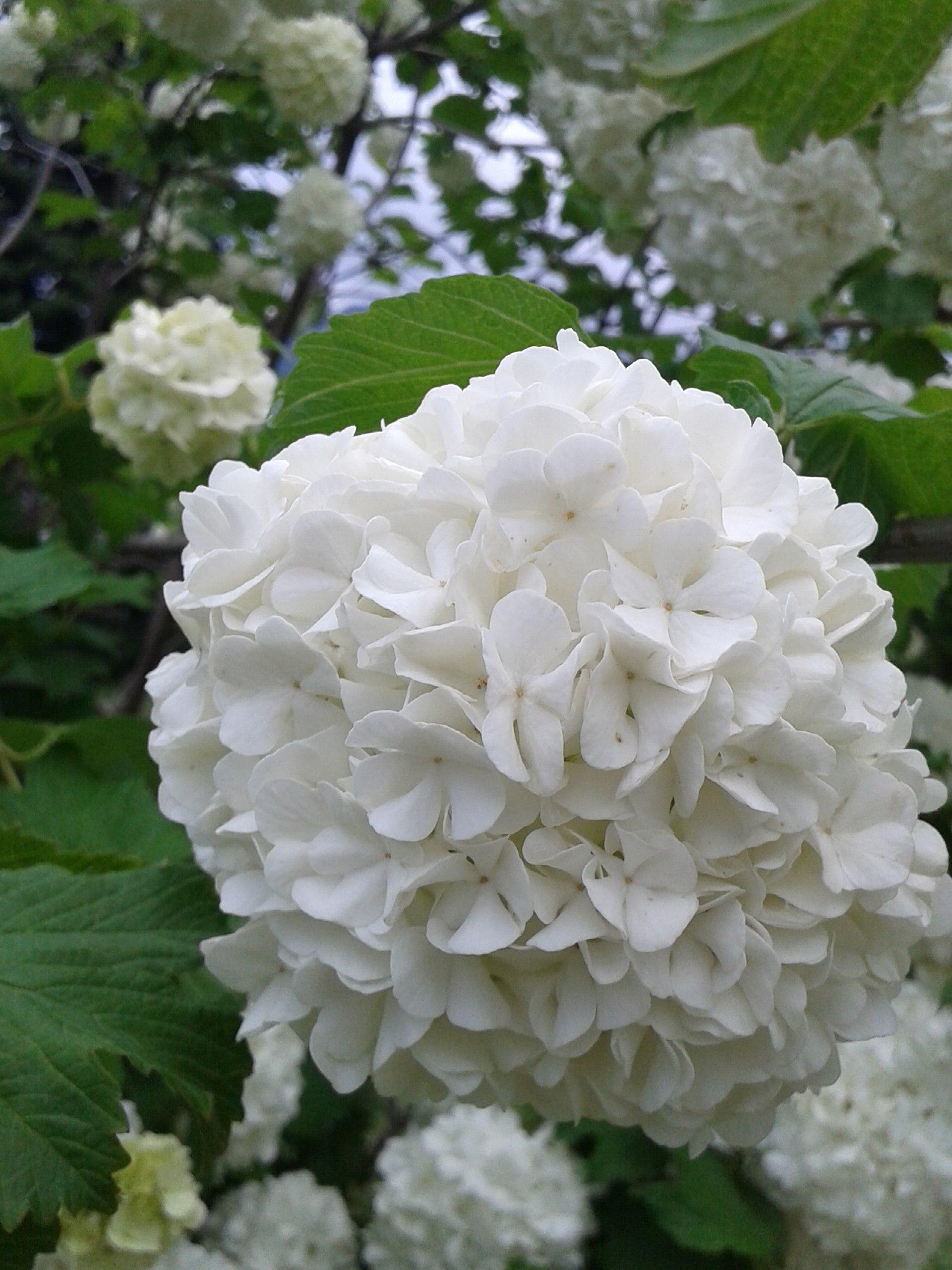 Filebeautiful White Hydrangea Flowerg Wikimedia Commons