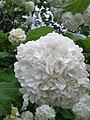 Beautiful white hydrangea flower.jpg